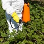 spraying vegetables in a garden