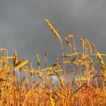 ripe spelt field