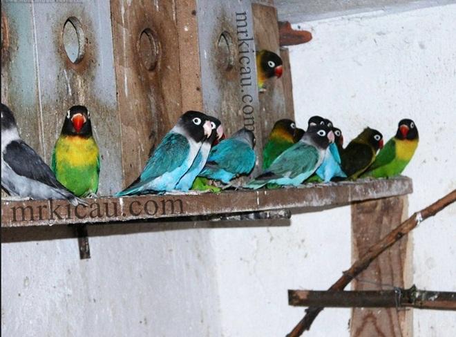 makanan love bird