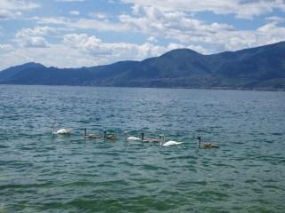 Swan family on Lake Garda