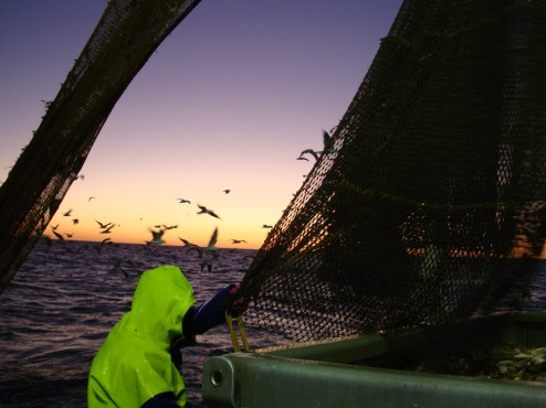 Opening the cod ends at sunrise.