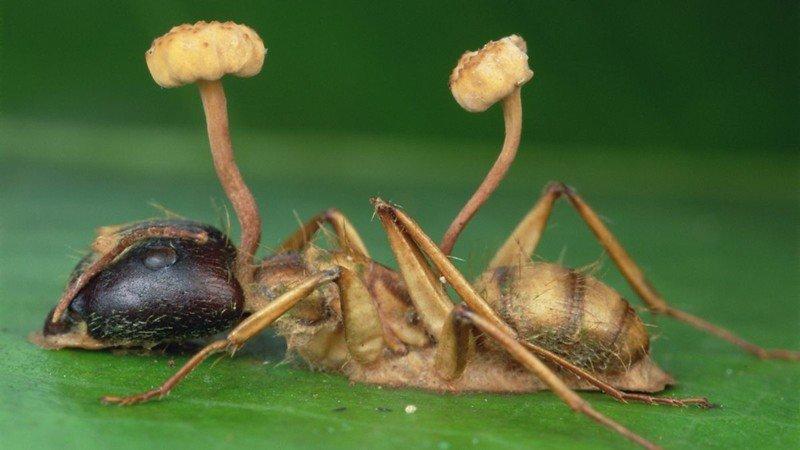 Зомбирующий гриб оказался куда опаснее, чем считали ученые: абсолютный паразит гриб, животные, паразит, факты