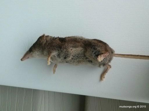 Dead shrew. (June 27, 2015.)