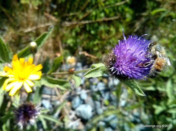 Cell phone shot of honey bee on Thistle (Aug. 17, 2015.)