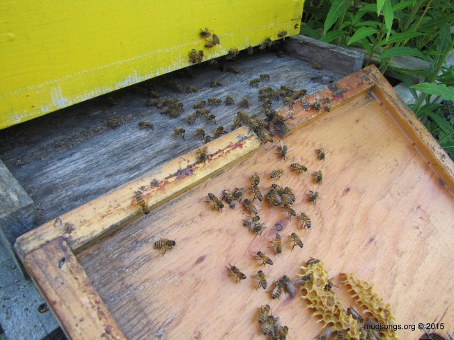 Are these bees acting like they have a queen? I hope so. (August 03, 2015.)