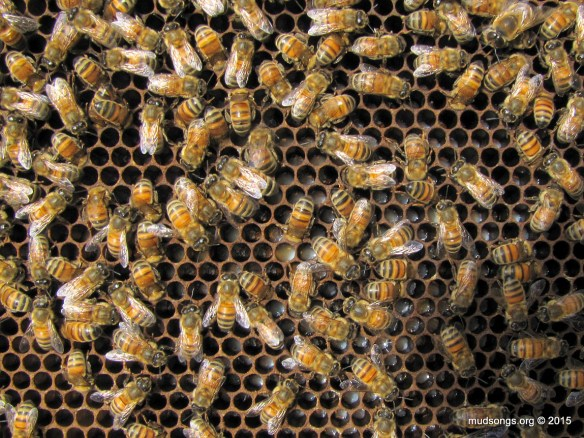 Brood cells full of royal jelly. Signs of mated queen (I hope). (Aug. 10, 2015.)