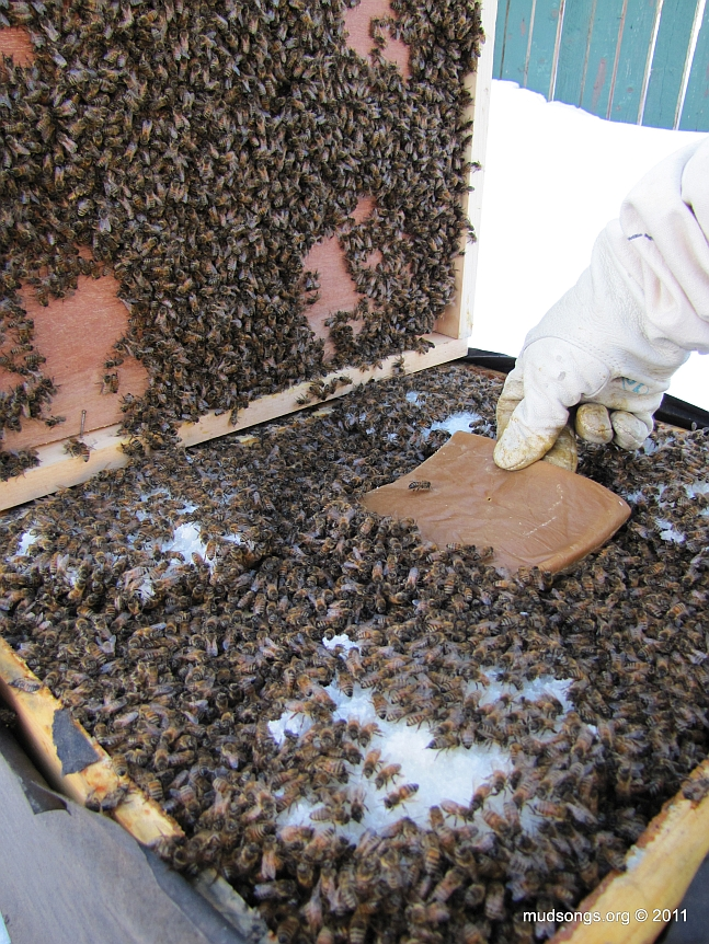 Adding a pollen patty to a very hungry colony. (February, 2011.)