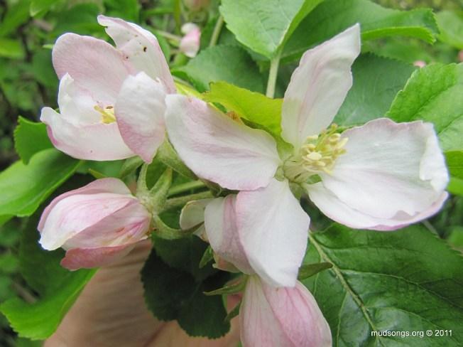 Hard looking crab apple blossom. (June 19, 2011.)
