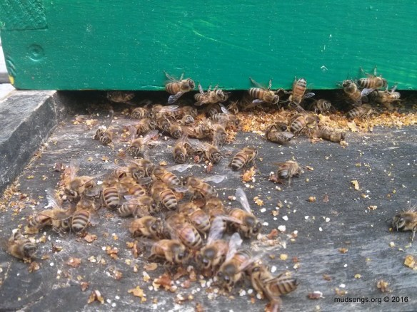 Loistering honey bees. (June 06, 2016.)