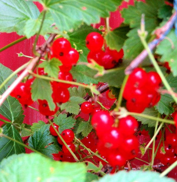 Red currants - Finland