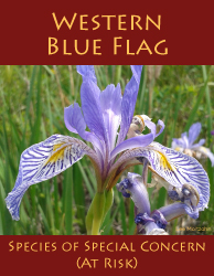 Western Blue Flag