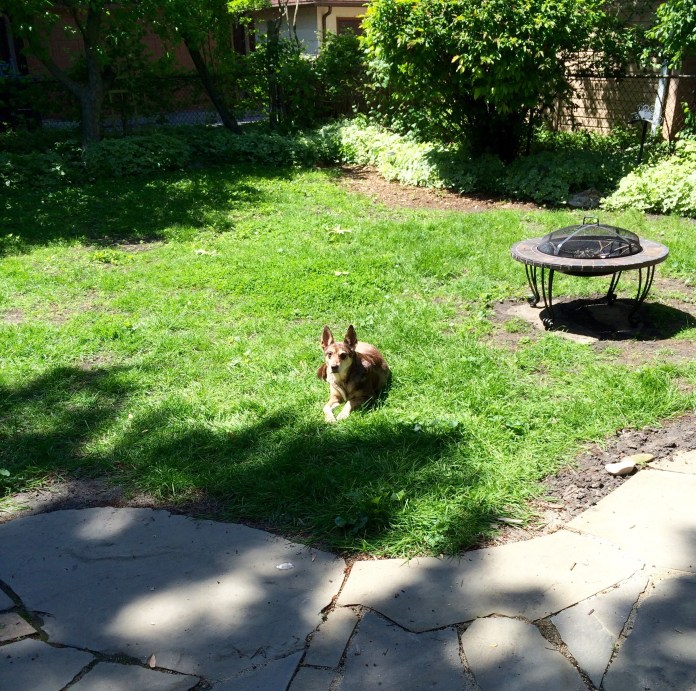 Django enjoys the late-May sun, while the yard is surrounded by goutweed, all of which was gone by October.