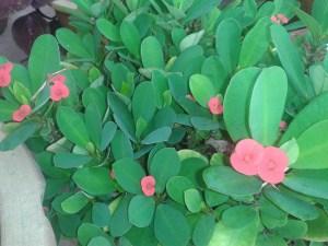 Cactus Flowering Plant