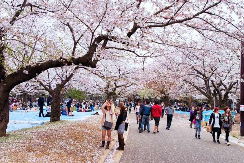 Floração das cerejeiras no Parque Yoyogi, em Tóquio (Foto: Wikimedia Commons)