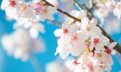 Flores de cerejeira (Foto: Cloudbi/Flickr)