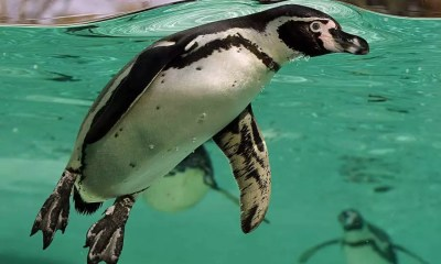 Pinguins de Humboldt (Foto: Wikimedia Commons)