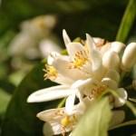 Azahar: una esencia ideal para el amor