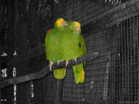 Los loros, suelen ser muny juguetones y amigables entre si - foto por photojavi.com
