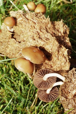 Psilocybe mushrooms (Psilocybe coprophila) growing on dung. The gills on the underside of two mushrooms can be seen, these hold millions of spores, the reproductive cells of fungi. Photographed in October in Cornwall, UK.