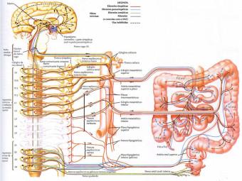 cerebro-en-el-estomago Un segundo cerebro funciona en el abdomen y regula las emociones