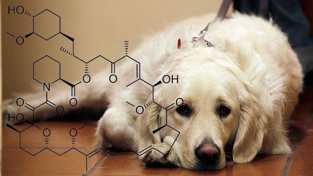 Una medicina podría prolongar la vida de los perros y la humana