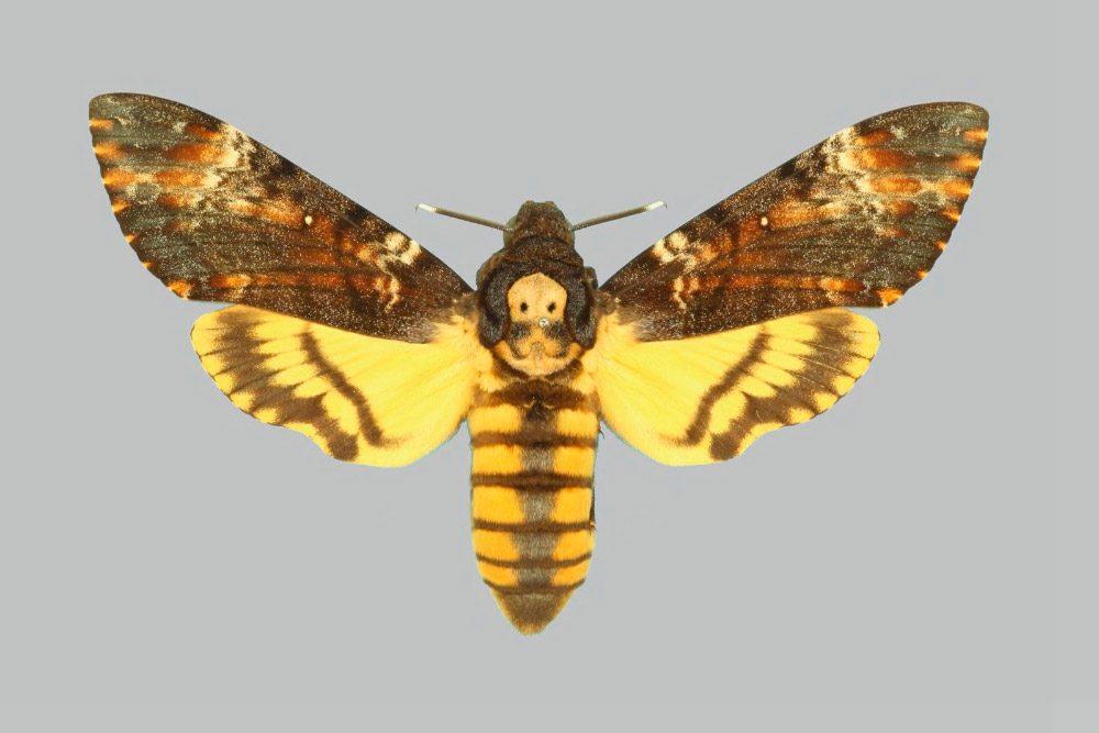 Resultado de imagen de mariposa esfinge