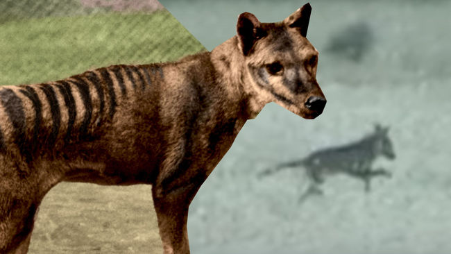 tigre-1 Causa polémica filmación de un tigre de Tasmania, un animal extinguido en 1936 (video)