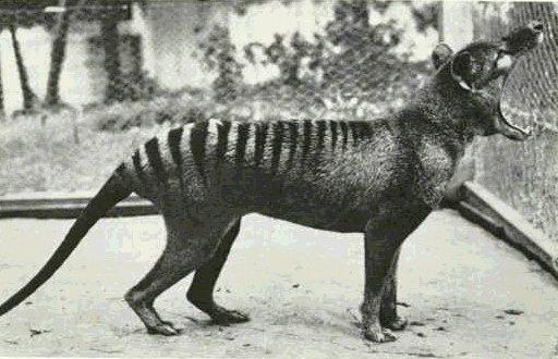 tigre-t Causa polémica filmación de un tigre de Tasmania, un animal extinguido en 1936 (video)