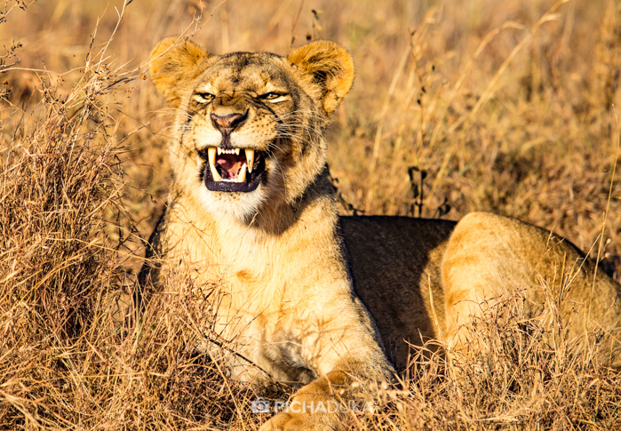 Hunting Lions in Nairobi National Park