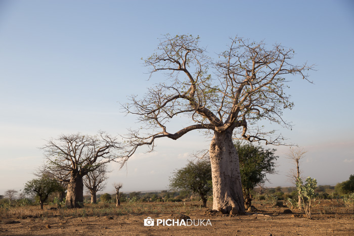 Baobab trees growing in Tanzania.