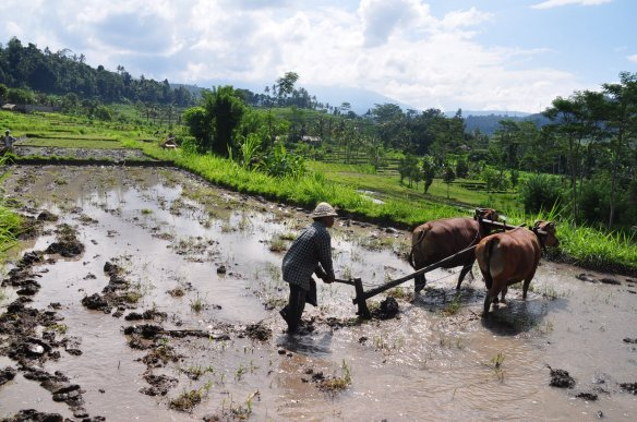 Bali rizieres 1024x680 Les rizières de Bali