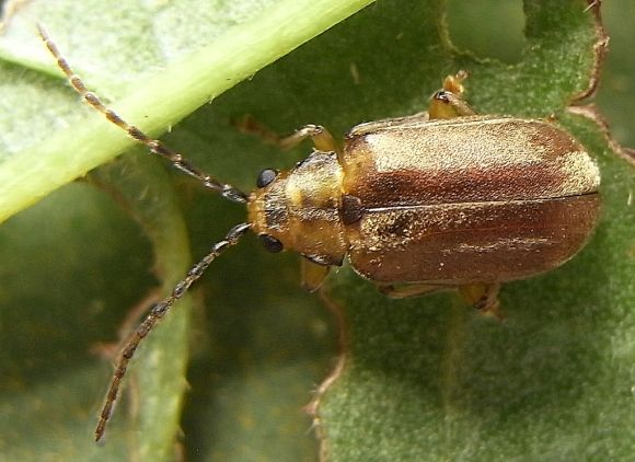 PHOTO: Viburnum leaf beetle (Pyrrhalta viburni)