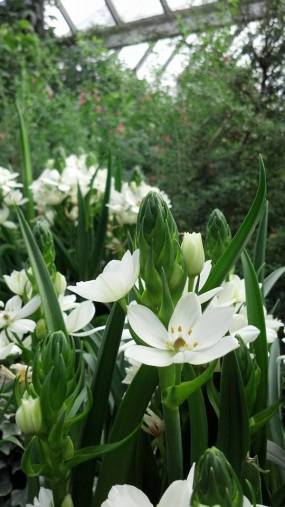 PHOTO: The white, lily-like blooms of Star-of-Bethlehem.