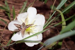 PHOTO: Hawkmoth on evening primrose.