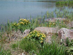 PHOTO: Marsh marigol (Caltha palustris) in bloom along the shoreline.