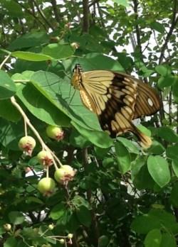 PHOTO: Side view of a male Mocker Swallowtail butterfly (Papilio dardanus).