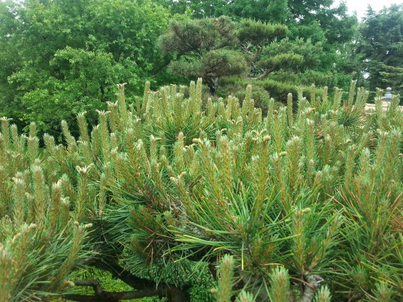 PHOTO: Uncandled new growth on the Japanese Garden pine trees.