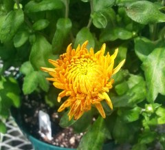 PHOTO: A mum cultivar.