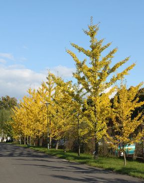PHOTO: Ginkgo trees planted along a street.