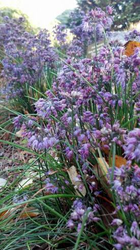 PHOTO: Purple fall onions blooming in the Garden.
