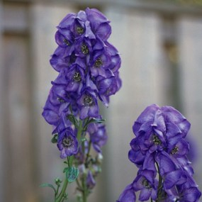 PHOTO: Arends azure monkshood/wolfsbane.