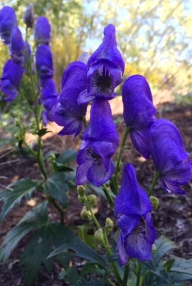 PHOTO: Aconitum fischeri