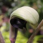 PHOTO: Japanese cobra lily (Arisaema ringens) via flutterandhum.wordpress.com.