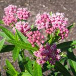 Asclepias incarnata in bloom.