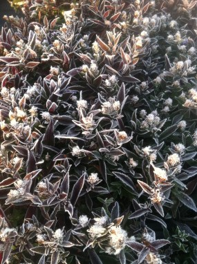 PHOTO: Symphyotrichum lateriflorum 'Lady in Black' with frost.