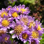 PHOTO: Aster tataricus 'Jindai' in bloom.