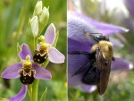 PHOTO: Bee orchid (Ophrys apifera) and bee on pasque flower.