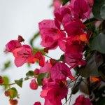 PHOTO: Bougainvillea x buttiana 'Barbara Karst'.