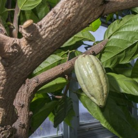 PHOTO: Cocoa pod (Theobroma cacao).