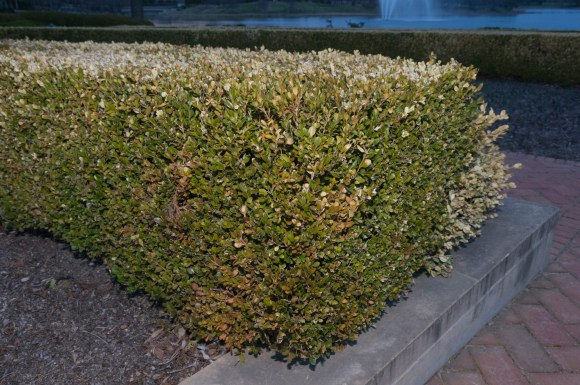 PHOTO: A boxwood hedge with the outer foliage killed by winter damage.